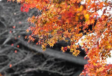 京都清水寺赏枫