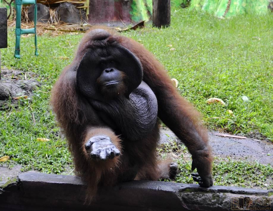 动物园大猩猩